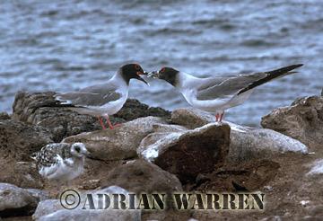 Swallow-tailed Gulls (Creagus furcatus), South Plaza Island, Galapagos, Ecuador