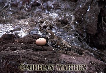 Charles Mockingbird (Nesomimus trifasciatus), Champion Island, Galapagos, Ecuador