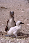 BLUE-FOOTED BOOBIES (Sula nebouxii); with young, Daphne, Galapagos, Ecuador