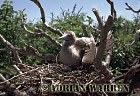Red-footed Booby (Sula sula) on nest, Tower Island, Galapagos, Ecuador