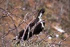 Great Frigatebird (Fregata minor), Daphne, Galapagos, Ecuador