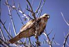 Galapagos Hawk (Bueo galapagoensis), James Bay, James Island, Galapagos, Ecuador
