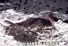 Flightless Cormorant on nest (Nannopterum harrisi), P. Espinosa, fernandina, Galapagos, Ecuador