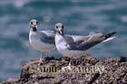 Swallow-tailed Gulls (Creagus furcatus), Tower Island, Galapagos, Ecuador