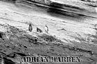 Galapagos Penguins (Spheniscus mendiculus), Pointa Espinosa, Fernandina, Galapagos, Ecuador
