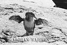 Flightless Cormorant (Nannopterum harrisi), P. Espinosa, fernandina, Galapagos, Ecuador