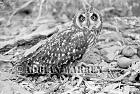 Short-eared Owl (Asia flammeus), Santa Cruz Galapagos, Ecuador