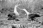 WAVED ALBATROSSES Courtship (Diomedea irrorata), Hood Island, Galapagos, Ecuador