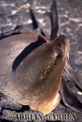 Galapagos Fur Seal (Arctocephalus galapagoensis), James Island, Galapagos, Ecuador