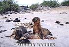 SEA LIONS (Zalophus californicus wollebaeki), Seal Island, Floreana, Galapagos, Ecuador