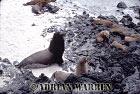 SEA LIONS (Zalophus californicus wollebaeki), Champion Island, Galapagos, Ecuador