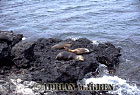 SEA LIONS (Zalophus californicus wollebaeki), Champion Island, Galapagos, Ecuador