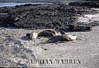 SEA LIONS (Zalophus californicus wollebaeki), P. Espinosa, Fernandina, Galapagos, Ecuador