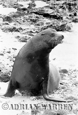 SEA LION (Zalophus californicus wollebaeki), Champion Island, Galapagos, Ecuador