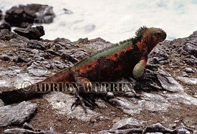 Marine Iguana (Amblyrhynchus cristatus), Hood Island, Galapagos, Ecuador