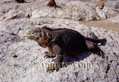Land Iguana (Conolophus subcristatus), South Plaza Island, Galapagos, Ecuador