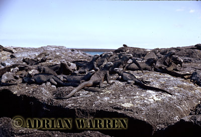 Marine Iguana (Amblyrhynchus cristatus), P. Espinosa, Fernandina, Galapagos, Ecuador