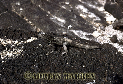 Lava Lizard (Tropidurus albemarlensis), P. Espinosa, Fernandina, Galapagos, Ecuador
