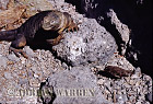 Marine Iguana (Amblyrhynchus cristatus) and Finch, South Plaza, Galapagos, Ecuador