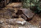 Giant Tortoise (Geochelone elephantopus darwini), Hood Island, Galapagos Islands, Ecuador