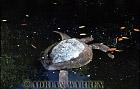 Pacific Ridley Turtle (lepidochelys olivacea), Turtle Cove, Santa Cruz, Galapagos Islands, Ecuador