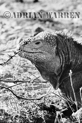 Land Iguana (Conolophus subcristatus), Santa Cruz, Galapagos, Ecuador