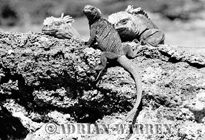 Marine Iguana (Amblyrhynchus cristatus), Galapagos, Ecuador