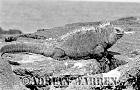 Marine Iguana (Amblyrhynchus cristatus), Pointa Tortuga, Isabela, Galapagos, Ecuador