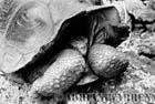 Giant Tortoise (Geochelone elephantopus darwini), Hood Island, Galapagos, Ecuador