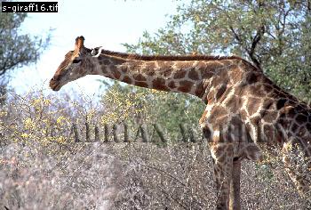 Giraffe (Giraffa camelopardalis), Etosha National Park, Namibia