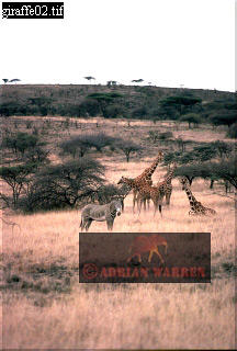 Reticulated Giraffe (Giraffa camelopardalis reticulata), Samburu, Mt. Kenya