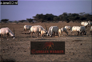 Arabian ORYX (Oryx leucoryx), Negev Desert, Israel