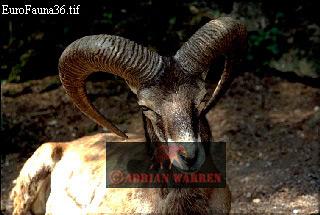 MOUFLON/ WILD SHEEP (Ovis aries): Male, Goldhau, Switzerland