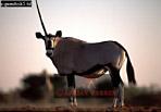 GEMSBOK (Oryx gazella), Etosha National Park, Namibia