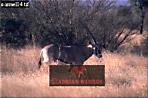 GEMSBOK (Oryx gazella), Israel