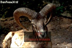 MOUFLON/ WILD SHEEP (Ovis aries): Male, Goldhau, Switzerland