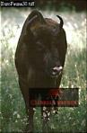 European BISON (Bison bonasus), Bialowieza, Poland