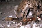 Spotted Hyena (Crocuta crocuta) feeding on Giraffe at night , Etosha National Park, Namibia