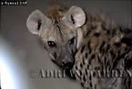 Spotted Hyena (Crocuta crocuta), Etosha National Park, Namibia