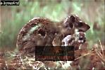 Cape Rock HYRAX (Procavia capensis), Akagera National Park, Rwanda, 1990