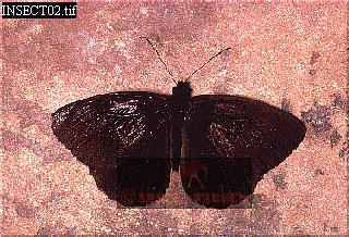 PEDALIODES RORAIMAE (Black Butterfly), Roraima Summit, Venezuela
