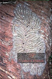 Group of Bombycine Caterpillars, Carauari, Rio Jurua, Brazil, 1978