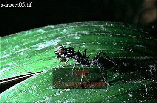 ANT, Carauari, Rio Jurua, Brazil, 1978