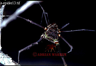 Forest SPIDER, Guyana