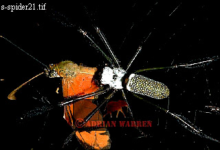 Nephila SPIDER eating Butterfly; Parque Nacional Morrocoy, Venezuela, 1976