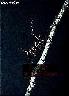 Horned SPIDER, Guyana