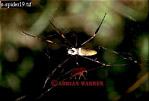 Nephila SPIDER, P.N. Guatopo, Venezuela