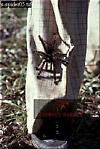 Bird-eating SPIDER (Theraphosa), Carauari, Rio Jurua, Brazil, 1978