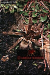 Bird-eating SPIDER (Theraphosa), Carauari, Rio Jurua, Brazil, 1978