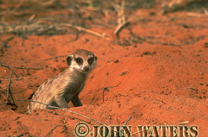 Meerkat (Suricata suricatta) : one adult looking out of burrow, Kalahari, South Africa